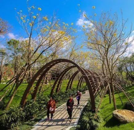 福州鶴林生態公園黃花風鈴木綻放(資料圖)圖片